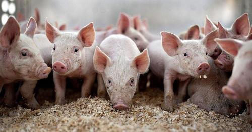 湖北省神农架林区发生野猪非洲猪瘟疫情